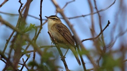 180528 sedge warbler (8)
