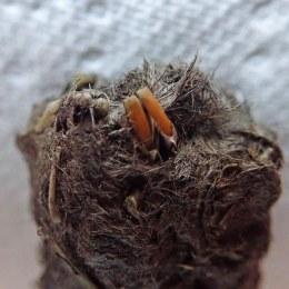 180529 owl pellets (7)