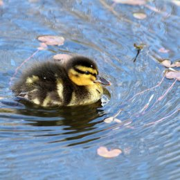180531 1 duckling