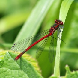 180531 14 Large red damselfly
