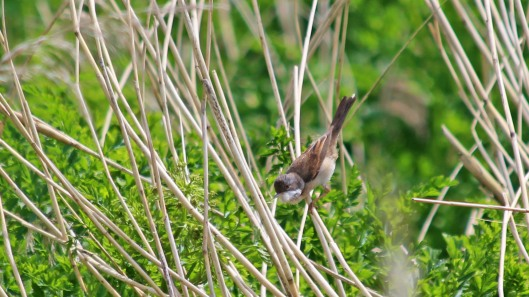 180531 15 Common whitethroat
