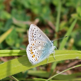 180531 17 Common blue