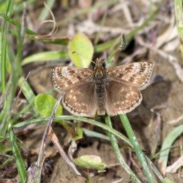 180531 18 Dingy skipper