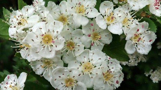 180531 19 Hawthorn blossom