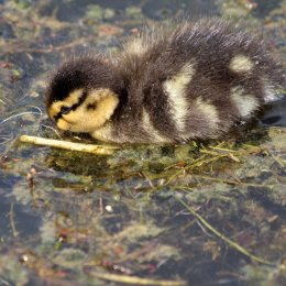 180531 2 duckling