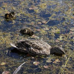 180531 3 duckling