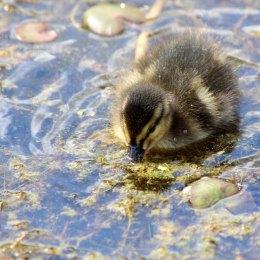 180531 4 duckling