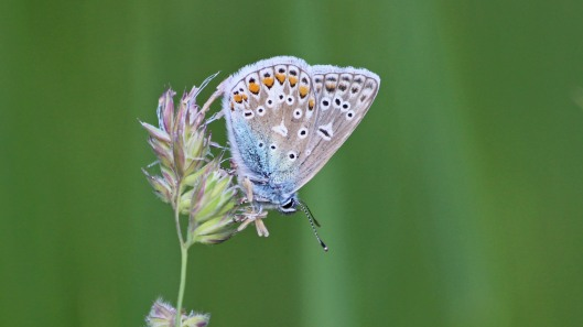 180601 (4) Common blue male