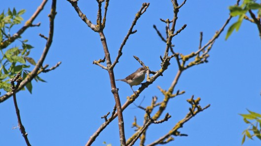 180602 Lesser whitethroat (1)