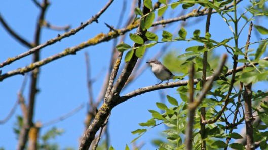 180602 Lesser whitethroat (2)