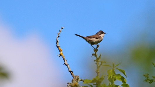 180602 Lesser whitethroat (3)