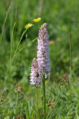 180603 Common spotted orchid (2)