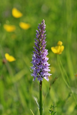 180603 Common spotted orchid (3)