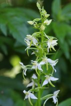 180603 Greater butterfly orchid (1)