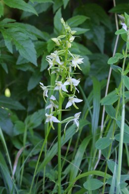 180603 Greater butterfly orchid (3)