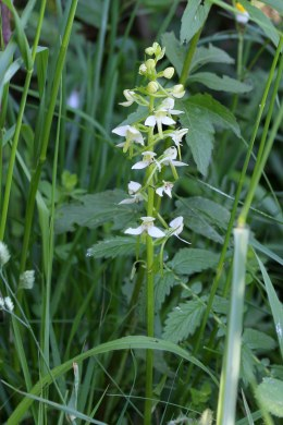 180603 Greater butterfly orchid (4)