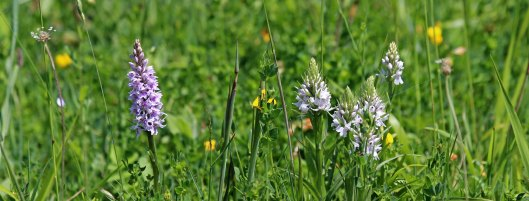 180603 orchids at Cosmeston