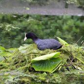 180604 10 coot nest