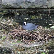 180604 11 coot nest