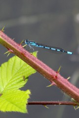 180604 6 common blue damselfly
