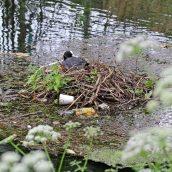 180604 9 coot nest