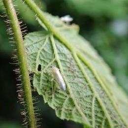 Immature plant bug