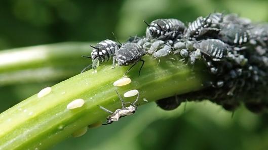 180605 Elder aphids (3)