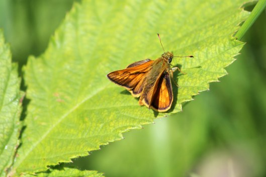 180606 Large skipper (2)