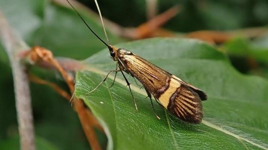 180608 4 Nemophora degeerella