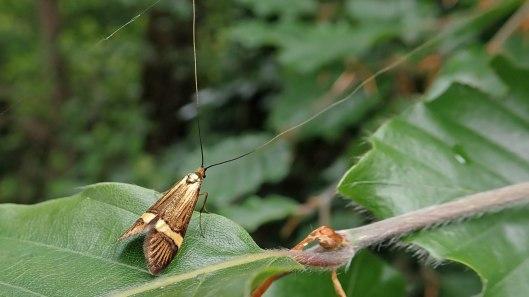 180608 5 Nemophora degeerella