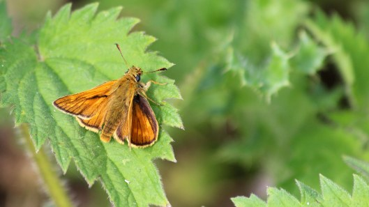 180609 1 Large skipper