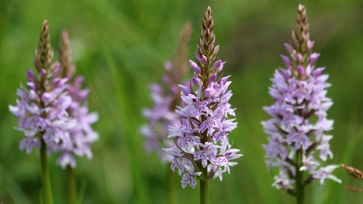 180609 12 Common spotted orchid