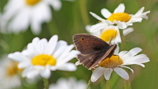 180609 2 Meadow brown