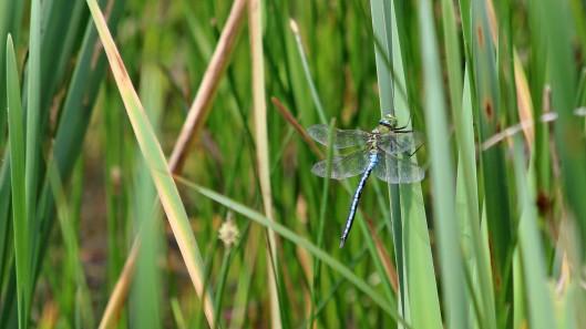 180609 6 Emperor dragonfly