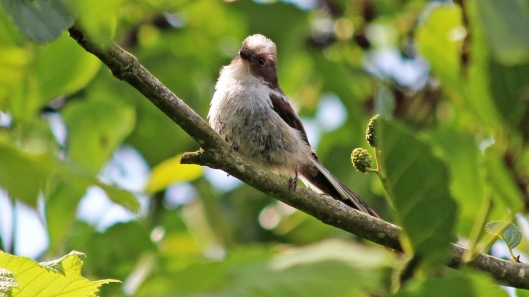 180609 7 Long-tailed tit fledgling