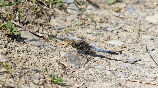 180610 Broad-bodied chaser male