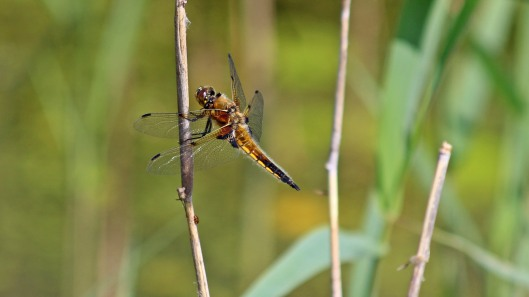 180610 Four-spotted chaser (2)