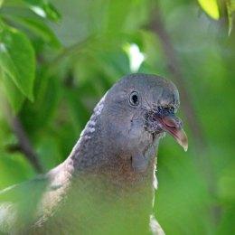 180611 (2) Feral pigeon