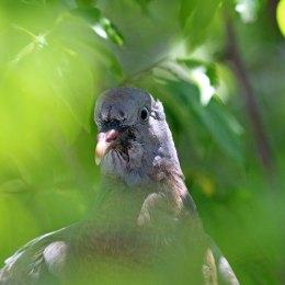 180611 (3) Feral pigeon