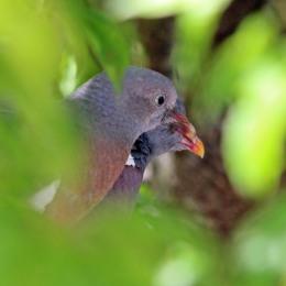 180611 (5) Feral pigeon