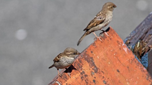 180611 (6) House sparrow females