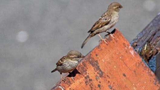 180611 (6) House sparrow females