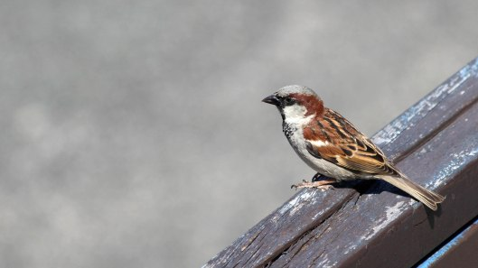 180611 (7) House sparrow male