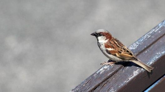 180611 (7) House sparrow male