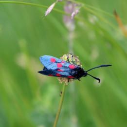 180612 2 6-spot burnet moth
