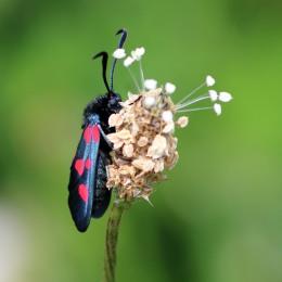 180612 3 6-spot burnet moth