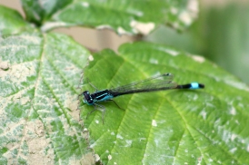 180612 Blue-tailed damselfly