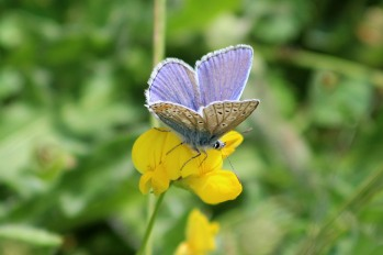 180612 Common blue