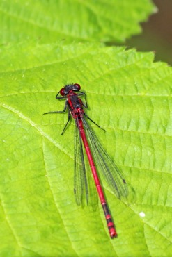 180612 Large red damselfly