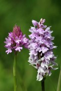 180612 Pyramidal & Common spotted orchids